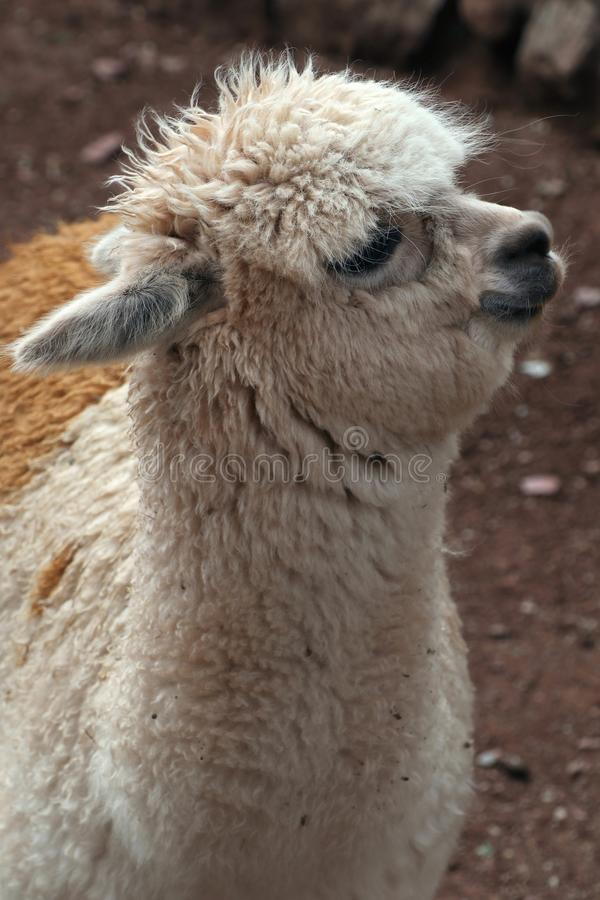 Cute llama. A baby llama looking up and very fluffy. Taken in Peru, south America royalty free stock image