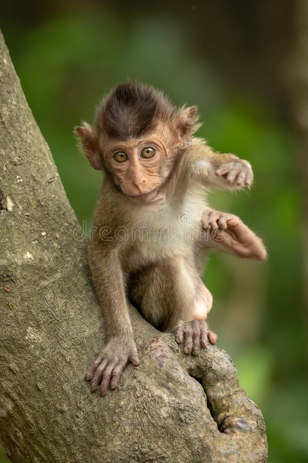 Baby long-tailed macaque on branch reaching forwards royalty free stock photos