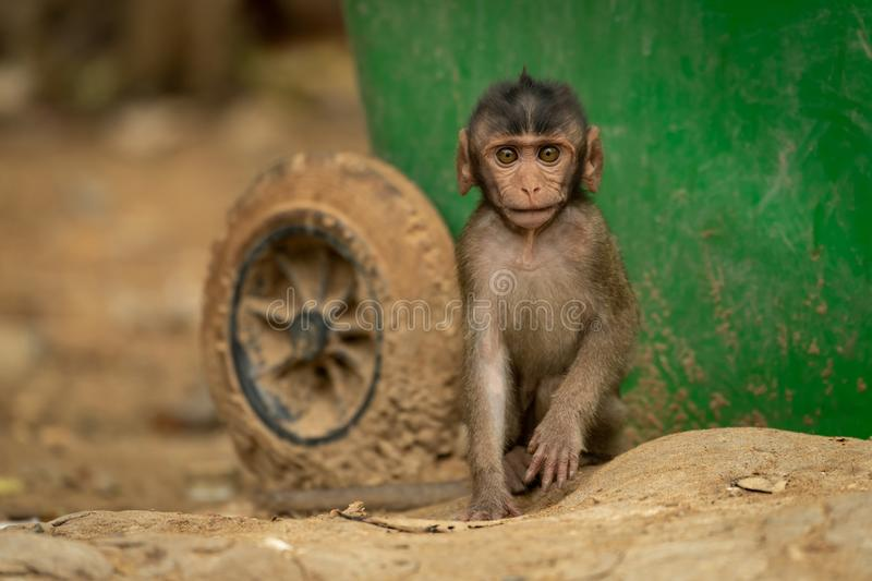 Baby long-tailed macaque sits by recycling bin royalty free stock photo