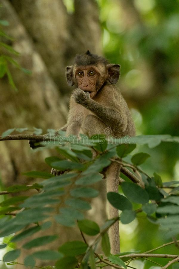 Baby long-tailed macaque sucks thumb on branch stock image