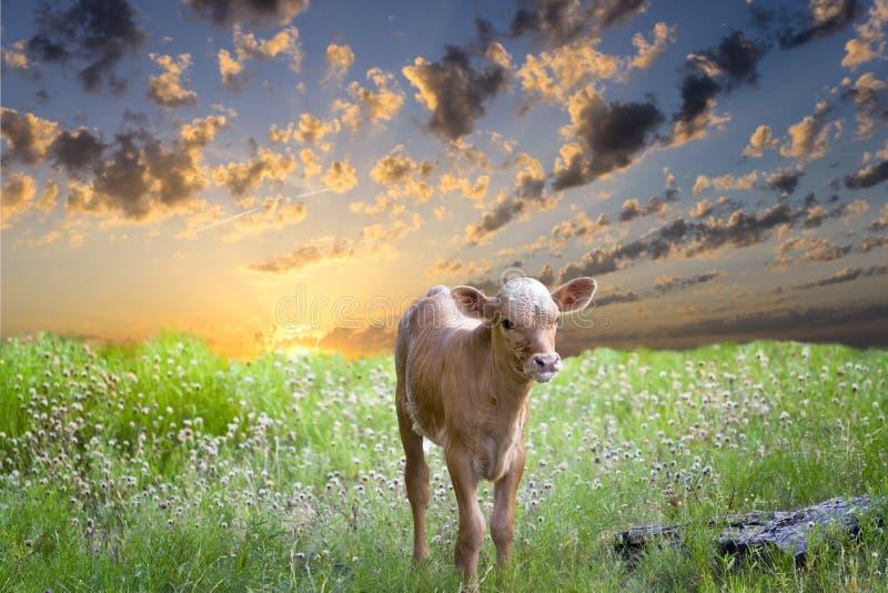Baby-Longhorn-Kalb lizenzfreie stockfotos