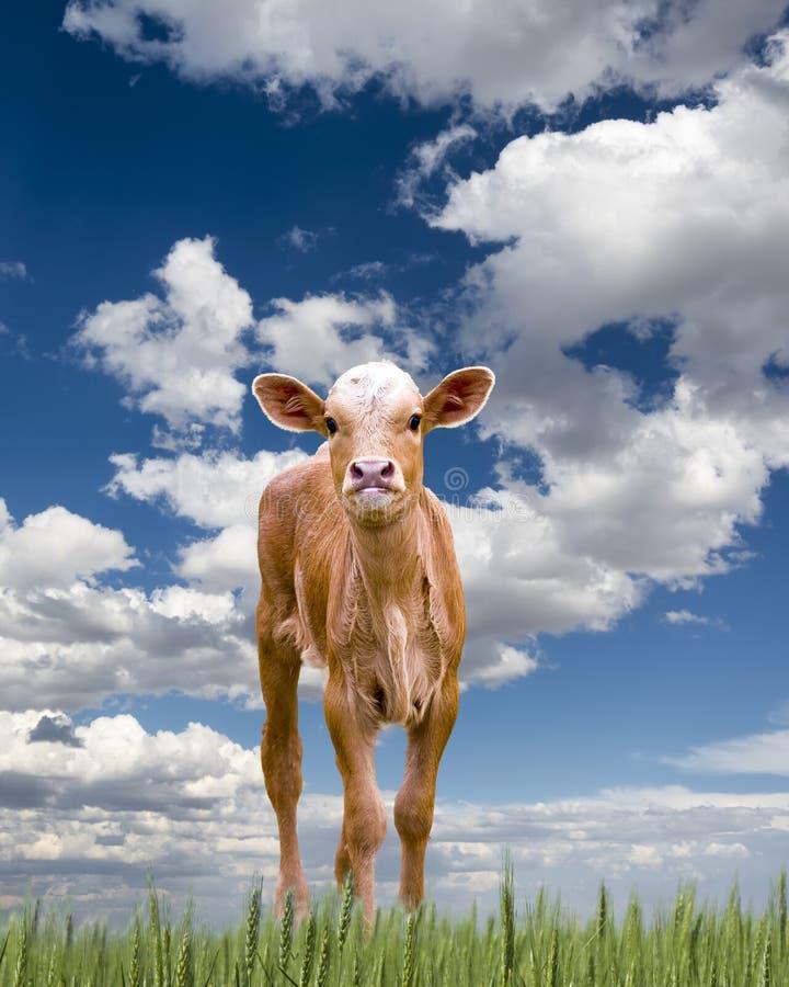 Baby-Longhorn-Kalb lizenzfreie stockfotografie