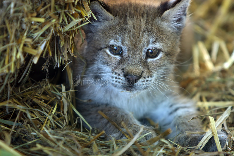 Download Baby Lynx stock photo. Image of feline, young, staring - 5708628