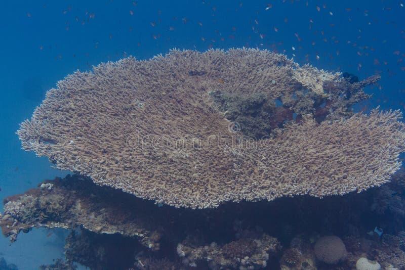 Baby Lyretail-Hogfish in der Tabellen-Koralle lizenzfreie stockfotos