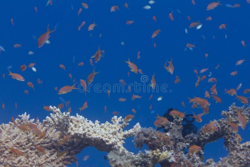 Lyretail Anthias Over Table Coral stock photo