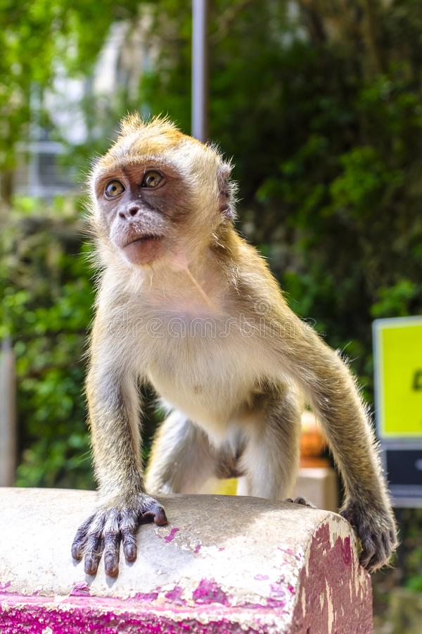 Baby macaque at Batu Caves. A baby macaque on a path to Batu Caves, Kuala Lumpur, Malaysia stock image