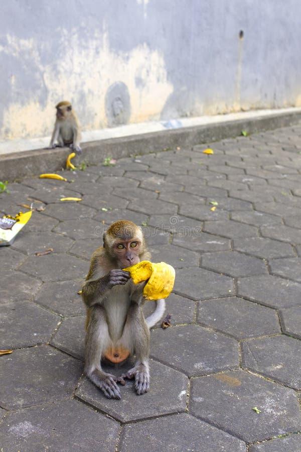 Baby macaque at Batu Caves. A baby macaque on a path to Batu Caves, Kuala Lumpur, Malaysia royalty free stock photos