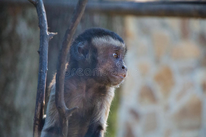 Baby macaque. Taigan. Crimea royalty free stock image