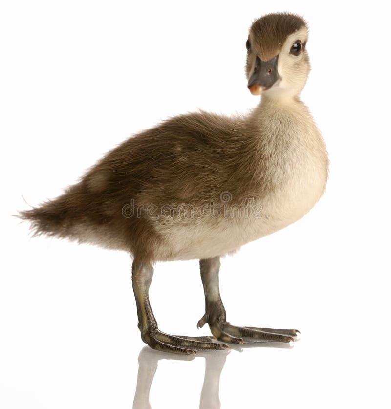 Free Baby Mallard Duck Stock Photo - 9886050