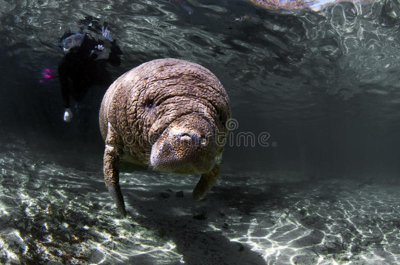 Baby Manatee. A baby manatee looks upon the world with curious eyes royalty free stock image