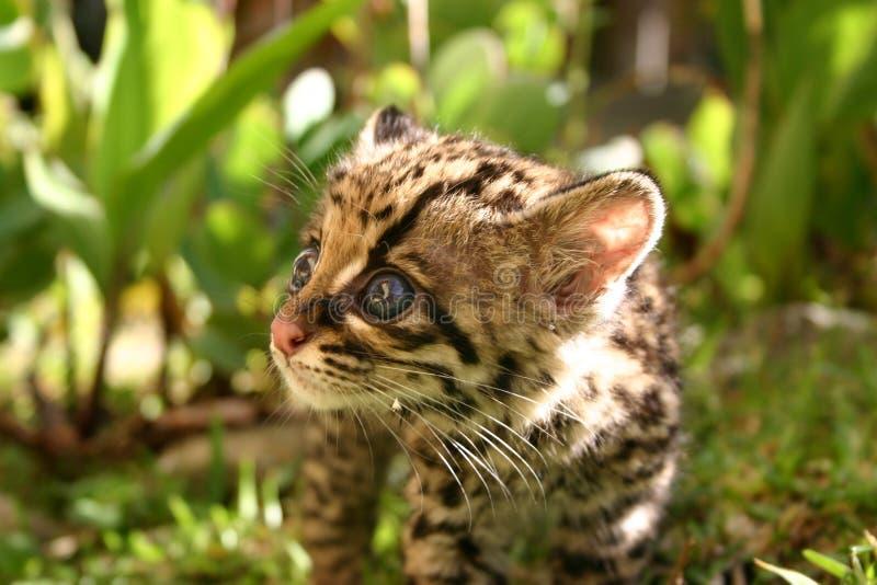 Baby Margay stock image