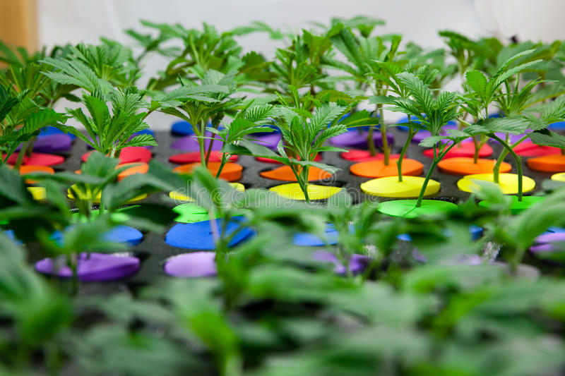 Baby marijuana in starters. Young marijuana plants. Colored starters are used to differentiate varieties stock photography
