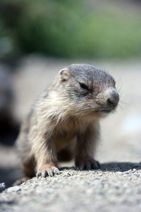 Baby marmot close-up stock photos