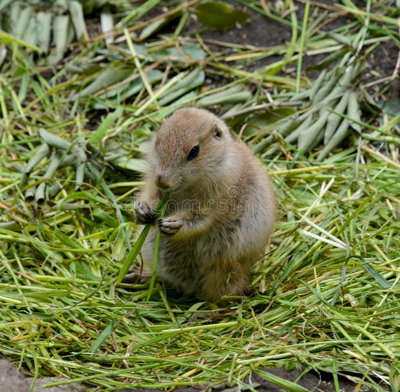 Baby Marmota stock photography