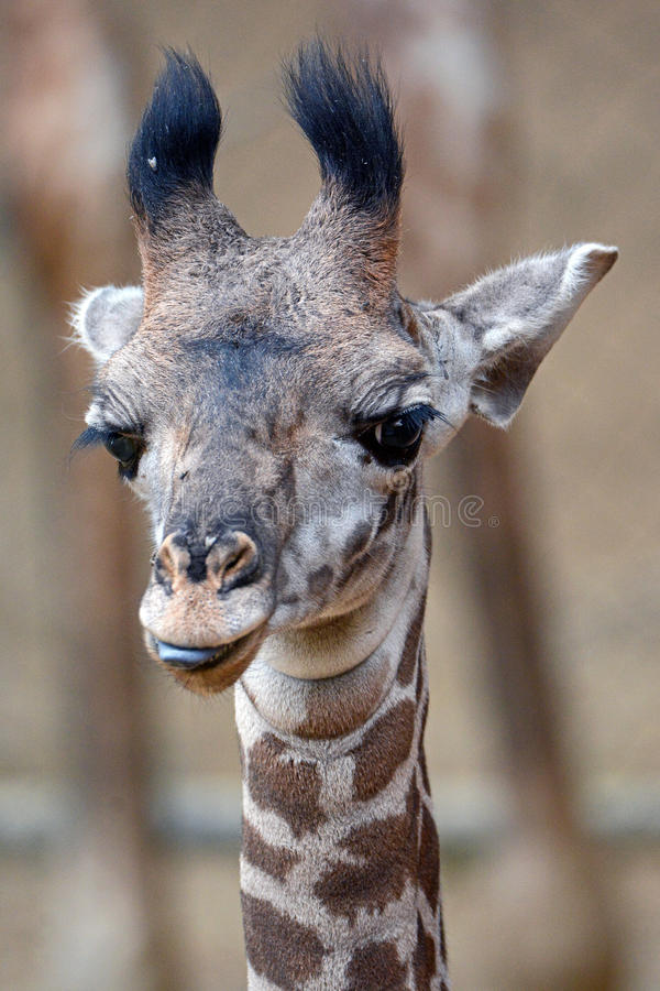 Baby Masai Giraffe. A two week old male baby Masai Giraffe shows his tongue for the camera at the Los Angeles Zoo royalty free stock images