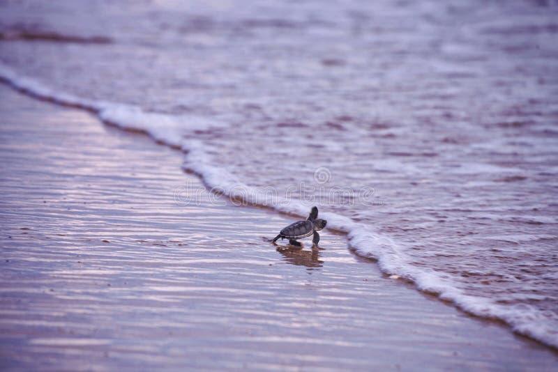 Baby-Meeresschildkröte lizenzfreies stockfoto