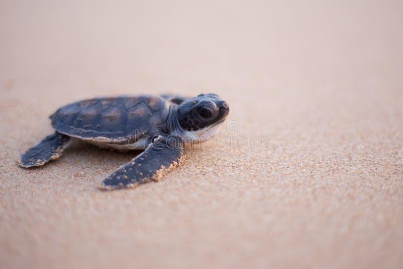 Baby-Meeresschildkröte auf die Art zum Meer lizenzfreie stockbilder