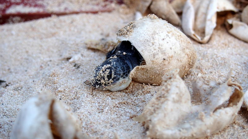 Baby-Meeresschildkröteausbrüten stockfotografie