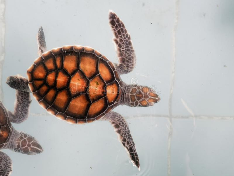 Baby-Meeresschildkröten, die im Kindertagesstättenteich oder -aquarium in der Erhaltungsmitte schwimmen lizenzfreie stockfotos