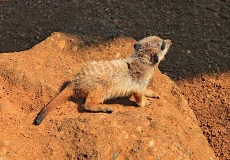 Baby meerkat hastet über einem Felsen in der Glättungssonne lizenzfreie stockfotos