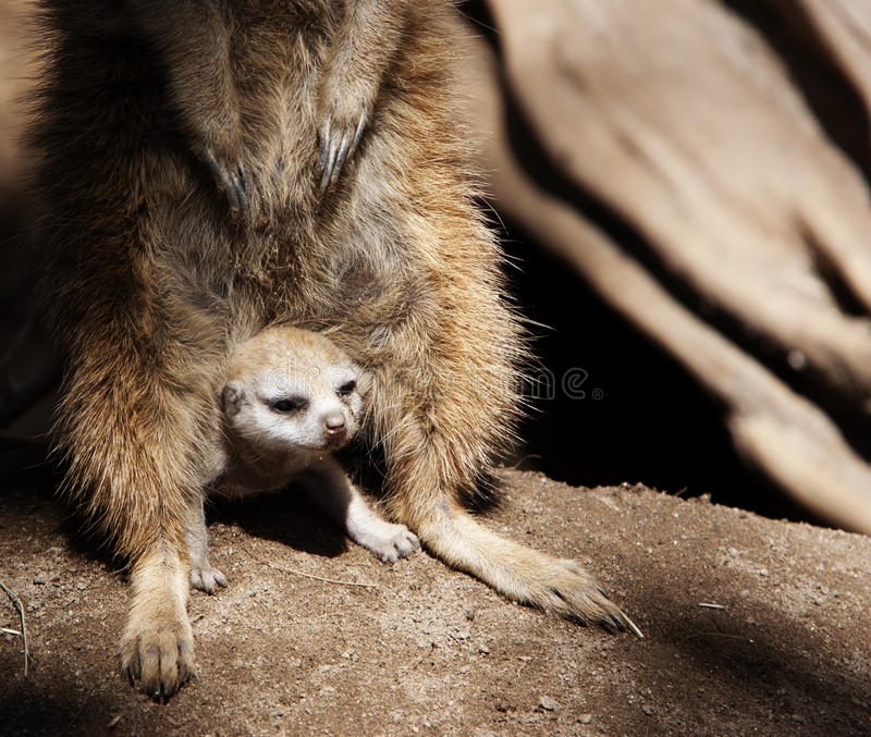 Baby Meerkat Sheltered by Adult. A baby meerkat peering out from between the legs of the mother meerkat