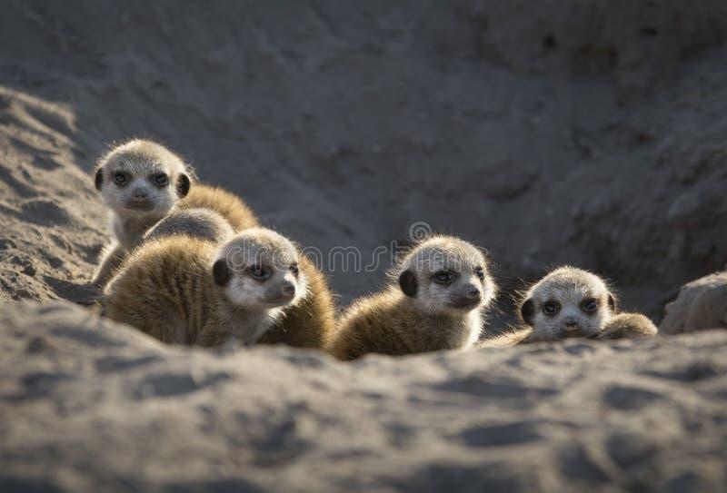 Baby meerkats, die nach Gefahr suchen stockfotos