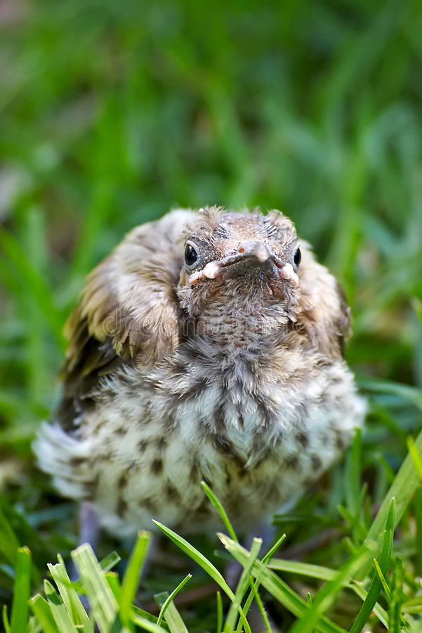 Download Baby miner bird stock image. Image of young, close, single - 1927251