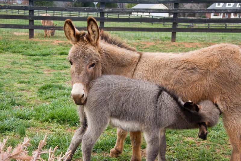 Baby Mini Donkey stock foto