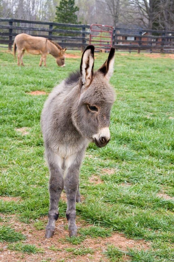 Baby Mini Donkey royalty-vrije stock afbeeldingen
