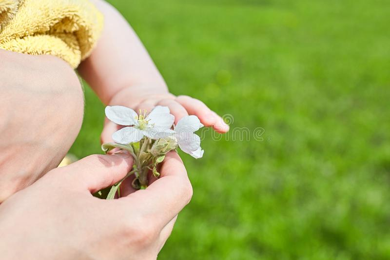 Baby and mom. Female hand holds a white apple tree flower stock image