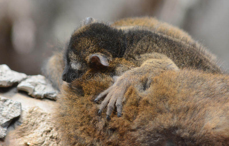 Baby mongoose lemur royalty free stock photo