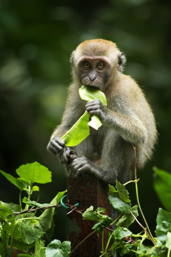 Baby Monkey. A baby monkey munching on leaves