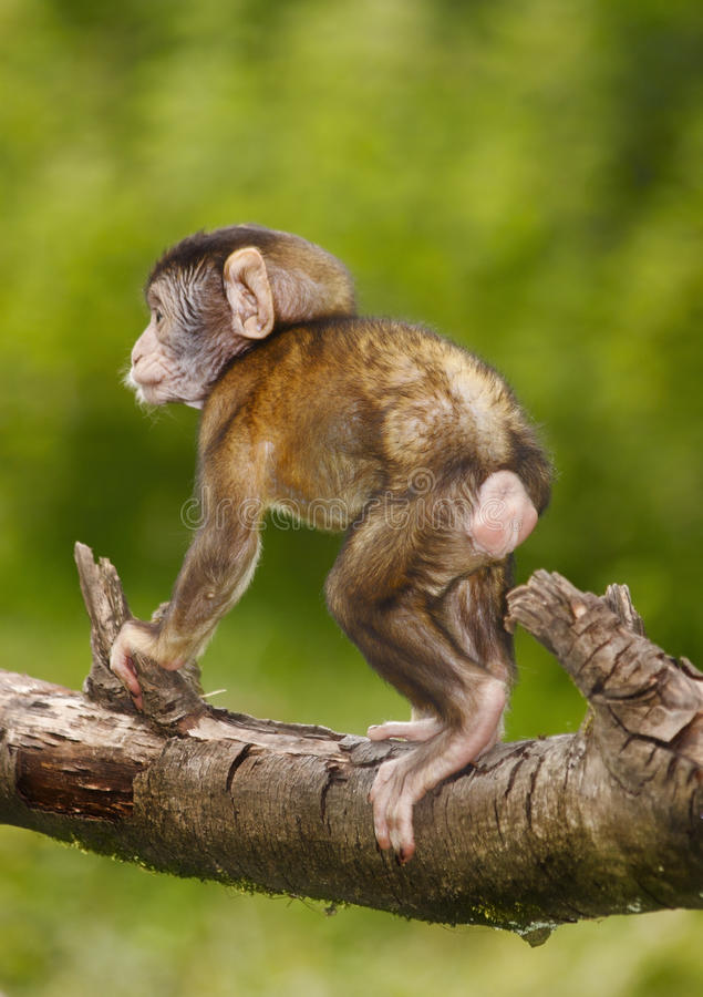 Download Baby Monkey Stock Photography - Image: 28904562