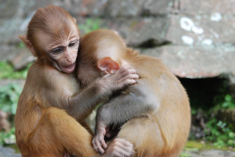 Baby Monkey Hug stock photos