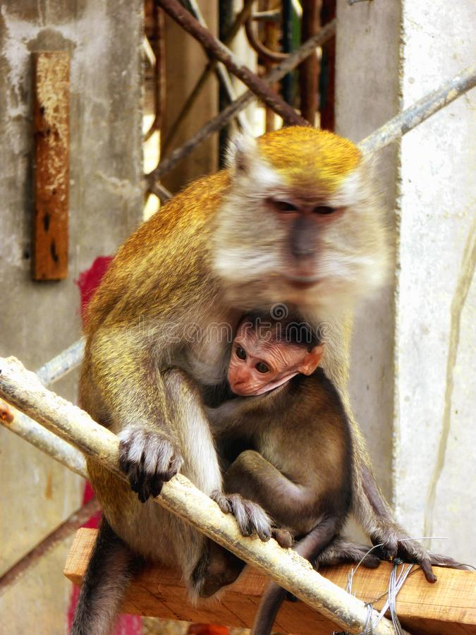 A baby monkey hugging the mother royalty free stock image
