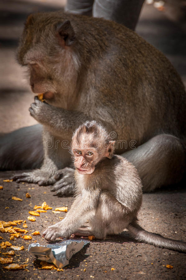 Baby monkey with mama royalty free stock image
