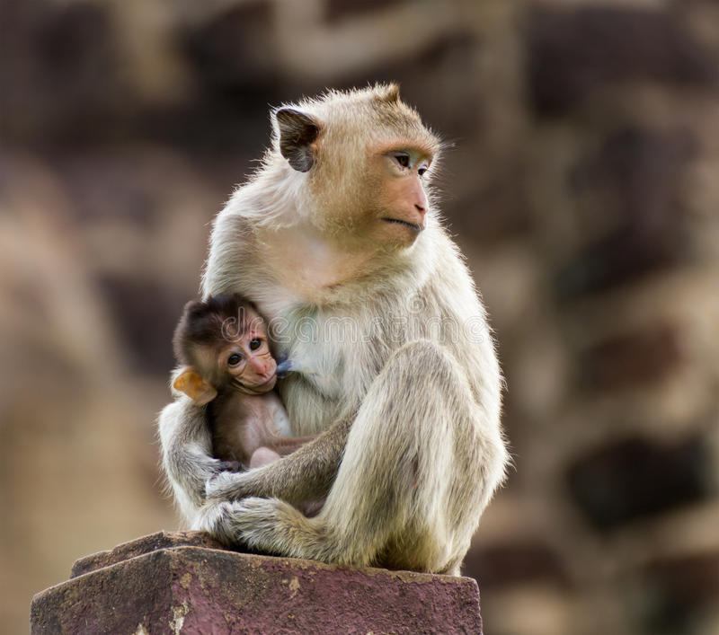 Download Baby monkey and mother stock image. Image of fuscata - 26797499