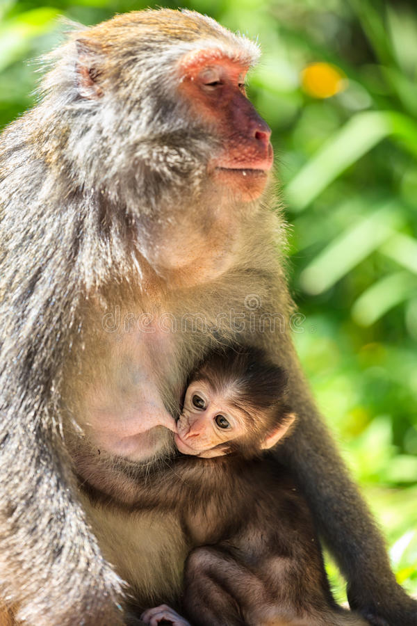 baby monkey nursing from mother stock image - image of nature, asia