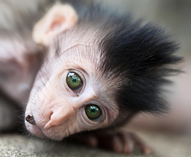 Baby monkey portrait royalty free stock photo