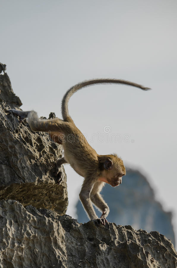 Baby Monkey on the Rocks in Ao Nang Thailand stock images