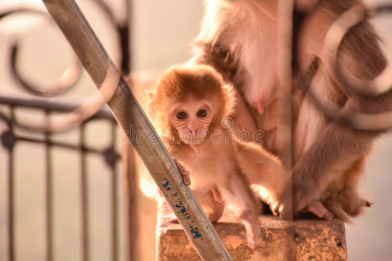 Baby Monkey Temple in India, Rishikesh. I found this monkey at the top of a hill where raise a beautiful temple. I took this picture very early in the morning & stock photography