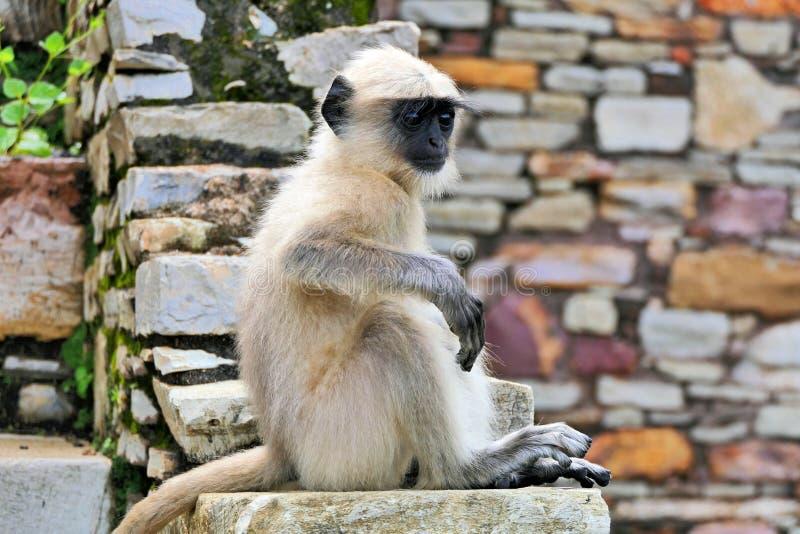 Baby Monkey vid antika ruins i Khumba Palace vid Chittorgarh Fort i Rajastan-regionen, Indien royaltyfria foton