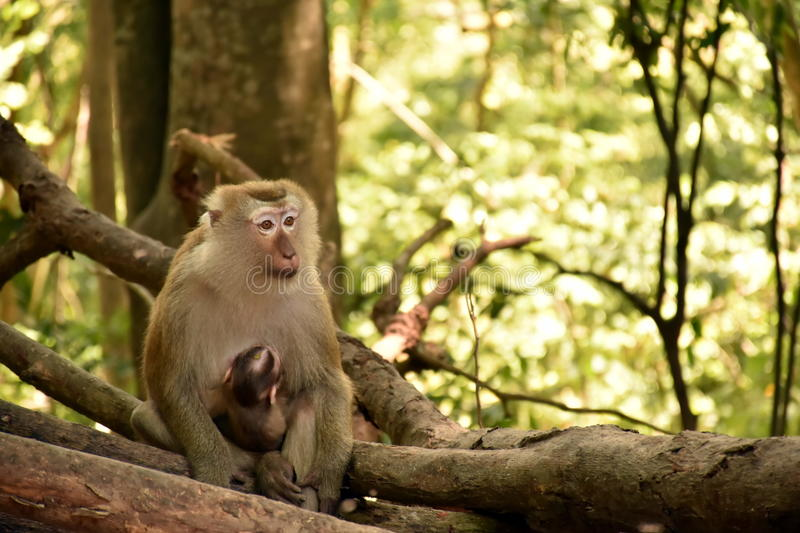 Baby monkeys receive care from his mother royalty free stock photos