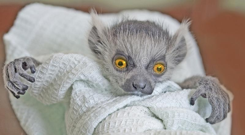 A baby monster. A frightening monster with big expressive orange eyes and crooked fingers is looking straight ahead. A baby ring-tailed lemur swaddled in a linen royalty free stock image