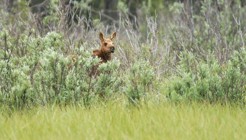 Baby moose. Hiding in the shrubs stock photo