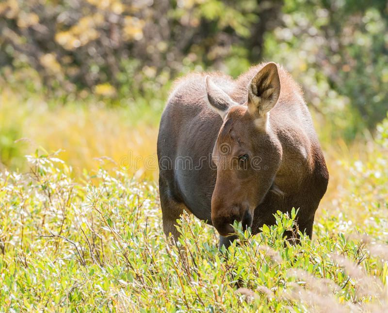 Baby Moose Grazing in a Sunlit Meadow royalty free stock image