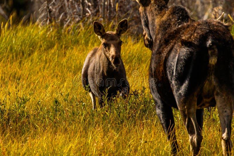 Baby Moose Kommer till mamma Jackson Hole arkivfoton