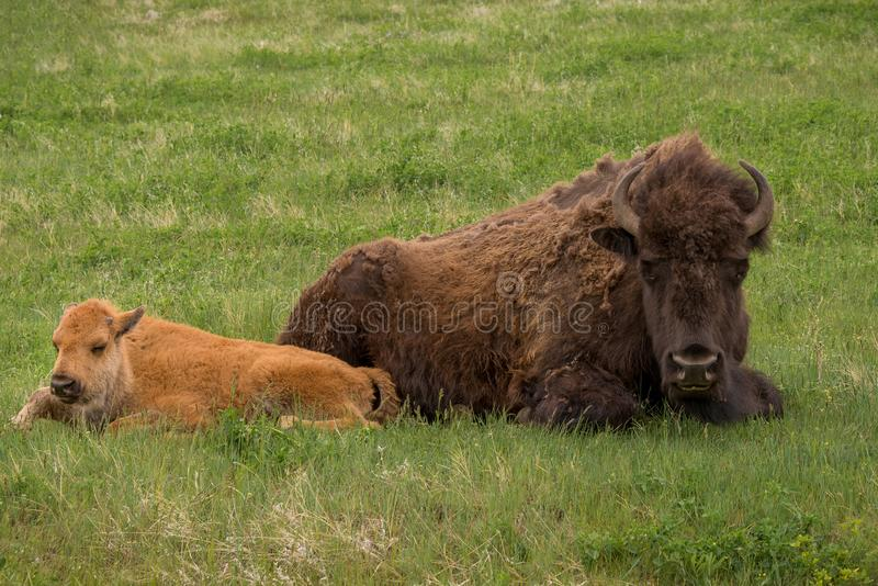 Baby and mother American bison laying in green grass. Mother and baby buffalo resting on ground. bison Wildlife animal horizontal landscape in Yellowstone royalty free stock image