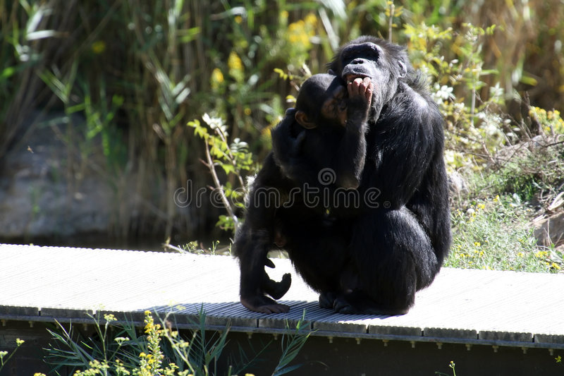 Chimpanzee Hug Stock Images - Download 126 Royalty Free Photos