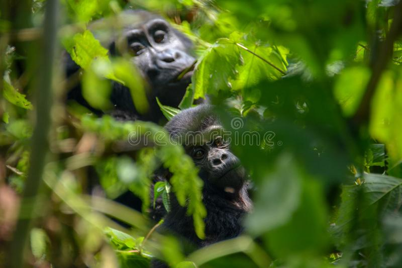 Baby and mother mountain gorilla peaking through the foliage. Very young mountain gorilla peaking through the dense forest with mom`s watchful eye Bwindi royalty free stock photo